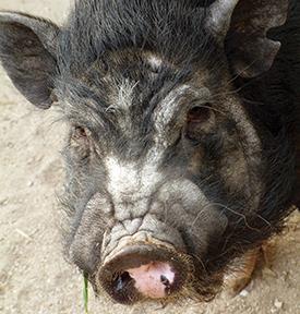 Een Chinees varken waar het haar van de kwast vandaan komt